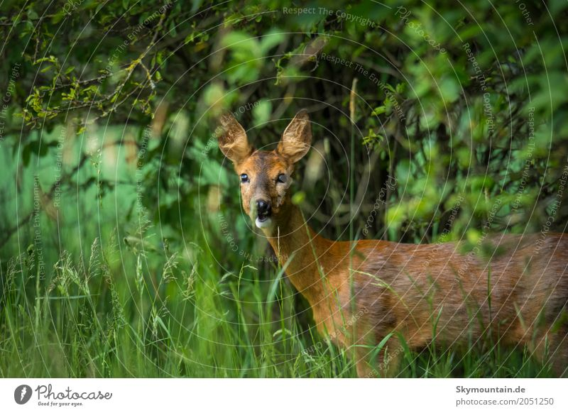 reh Environment Nature Plant Animal Tree Grass Bushes Agricultural crop Wild plant Meadow Field Forest Hill Wild animal Animal face Roe deer 1 Natural Brown