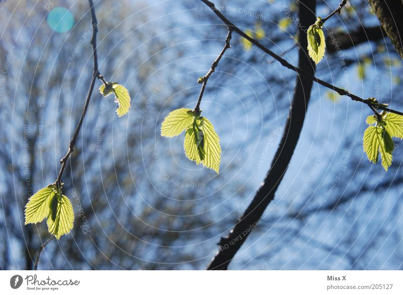 spring is daaa Nature Spring Tree Leaf Fresh Beginning Branch Leaf bud Make green Colour photo Exterior shot Close-up Deserted Day Light Shadow Sunlight