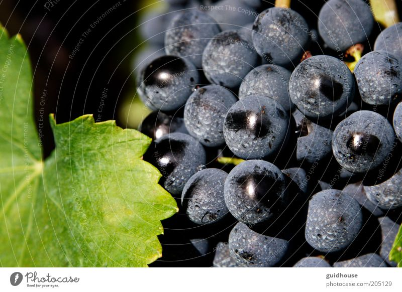 grape of aglianico Nature Blue Green Plant Autumn Gray Good Agriculture Agricultural crop