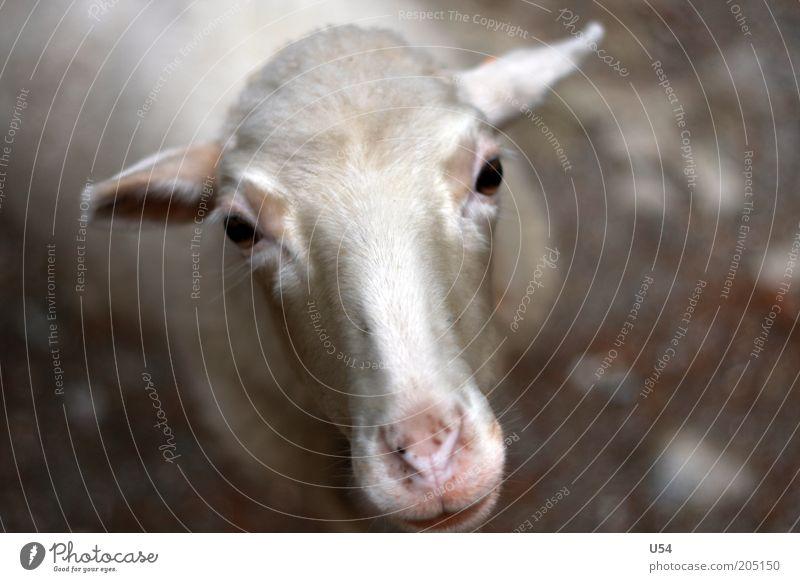 Animal Head Curiosity Agriculture Sheep Farm animal Cattle breeding