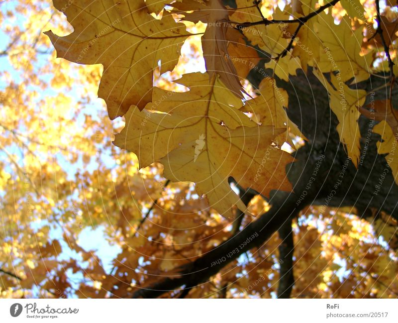 autumn foliage Autumn Leaf Tree Oak tree Forest