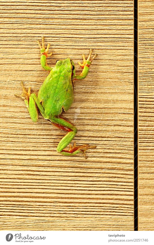 cute green frog on furniture Nature Colour Beautiful Green Tree Animal Forest Environment Natural Wood Small Wild Cute Living thing Climbing Furniture
