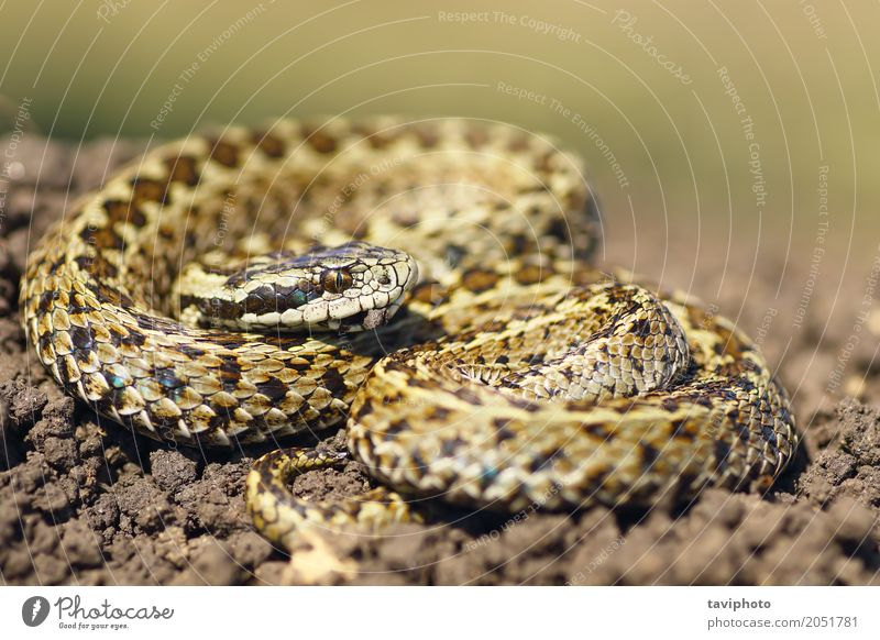 beautiful meadow viper ready to attack Beautiful Nature Animal Meadow Snake Uniqueness Wild Brown Fear Dangerous Colour aggresive Viper European venomous