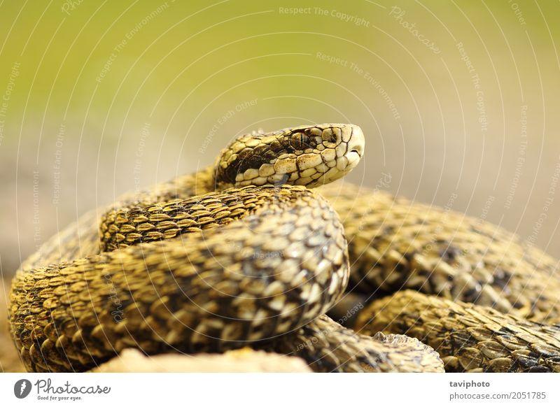 elusive meadow viper Beautiful Woman Adults Nature Animal Meadow Snake Small Wild Brown Fear Dangerous Colour Viper vipera ursinii rakosiensis Reptiles