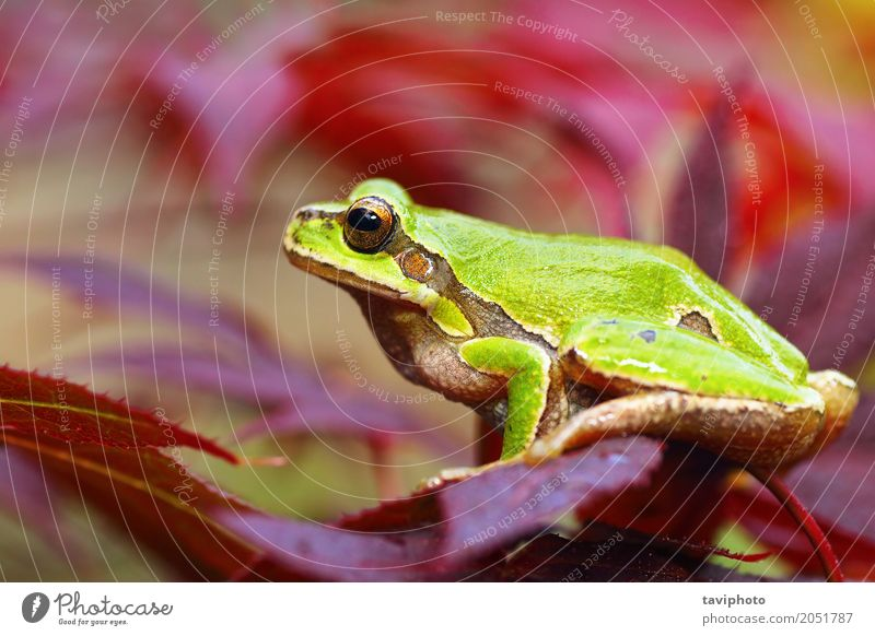 european green tree frog on leafs Nature Plant Colour Beautiful Green Tree Red Leaf Animal Forest Environment Natural Small Garden Wild Park