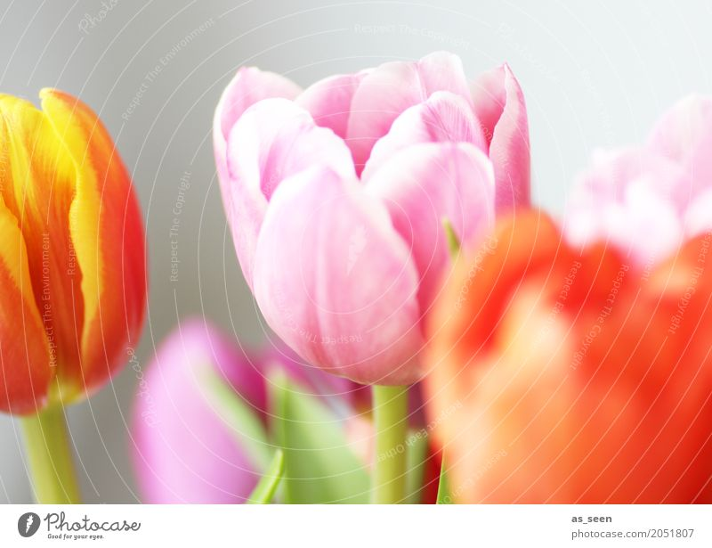 Colourful Tulips Design Exotic Cosmetics Wellness Life Harmonious Decoration Feasts & Celebrations Mother's Day Easter Birthday Nature Spring Summer Plant