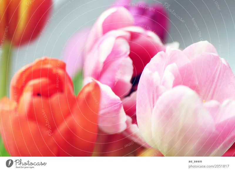 Colours Lifestyle Style Design Exotic Harmonious Senses Fragrance Garden Decoration Mother's Day Easter Nature Spring Summer Plant Flower Tulip Blossom Movement
