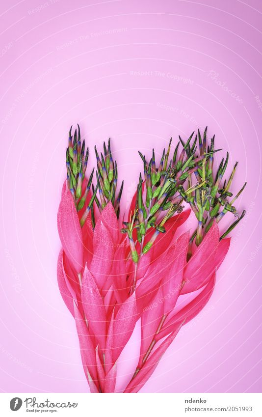 pink flower of Billbergia Valentine's Day Mother's Day Easter Birthday Plant Flower Blossom Bouquet Feasts & Celebrations Love Fresh Bright Natural Pink