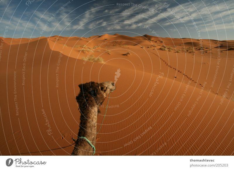 Sahara desert in Morocco Environment Nature Landscape Sand Sky Clouds Sunlight Beautiful weather Warmth Drought Desert Animal Farm animal camel 1