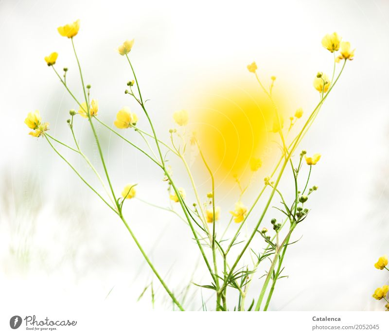 yellow Nature Plant Sky Clouds Spring Flower Leaf Blossom Wild plant Crowfoot Marsh marigold Garden Meadow Blossoming Esthetic Yellow Gray Green White Happiness
