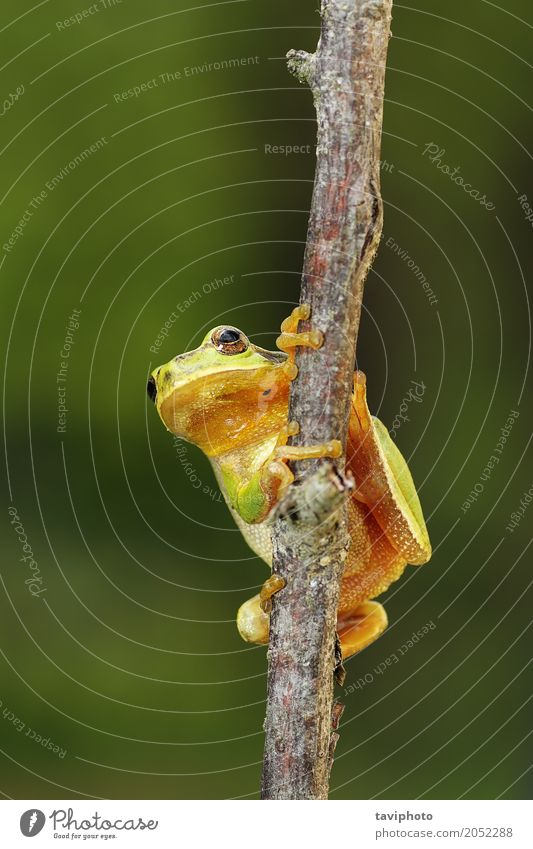 tiny tree frog climbing on a branch Beautiful Garden Climbing Mountaineering Environment Nature Animal Tree Forest Small Natural Cute Wild Green Colour European
