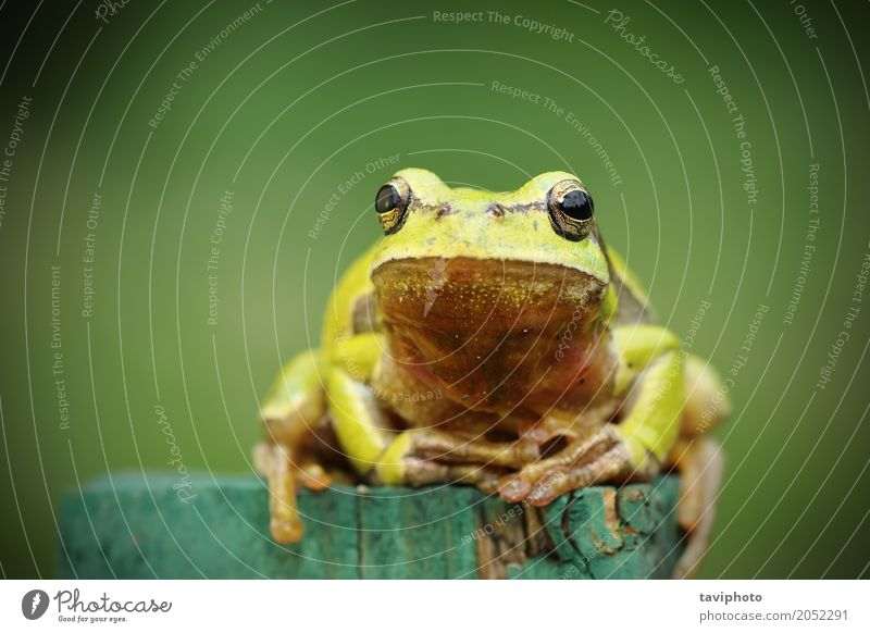 tree frog looking at camera Beautiful Environment Nature Animal Tree Observe Friendliness Small Natural Cute Wild Green Colour hyla arborea Conceptual design