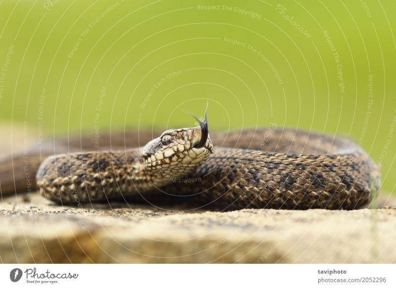 venomous juvenile Vipera ursinii rakosiensis preparing to strike Beautiful Nature Animal Meadow Snake Wild Brown Fear Dangerous Colour aggressive vipera