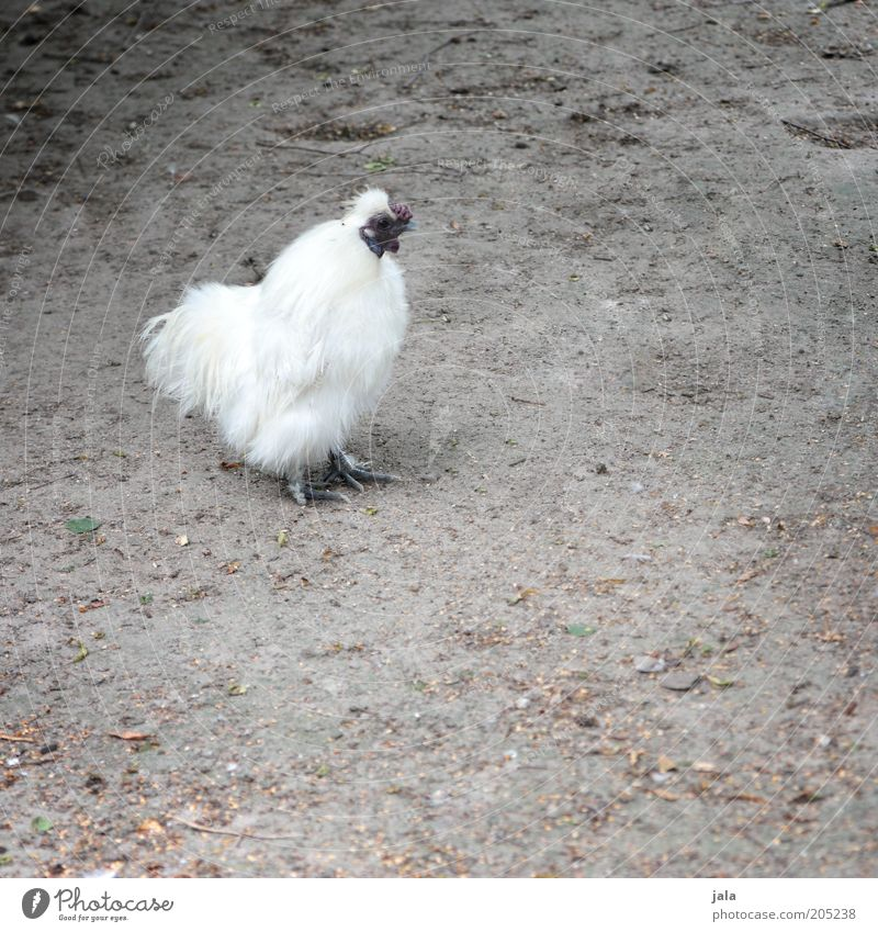 White Animal Gray Soft Feather Barn fowl