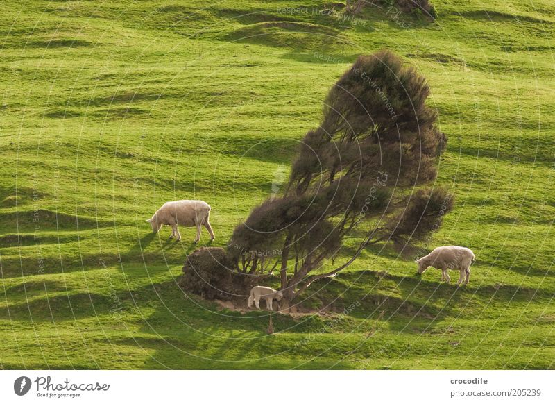 Nature Tree Plant Meadow Grass Spring Contentment Environment Island Hill Pasture Sheep To feed New Zealand Herd Farm animal