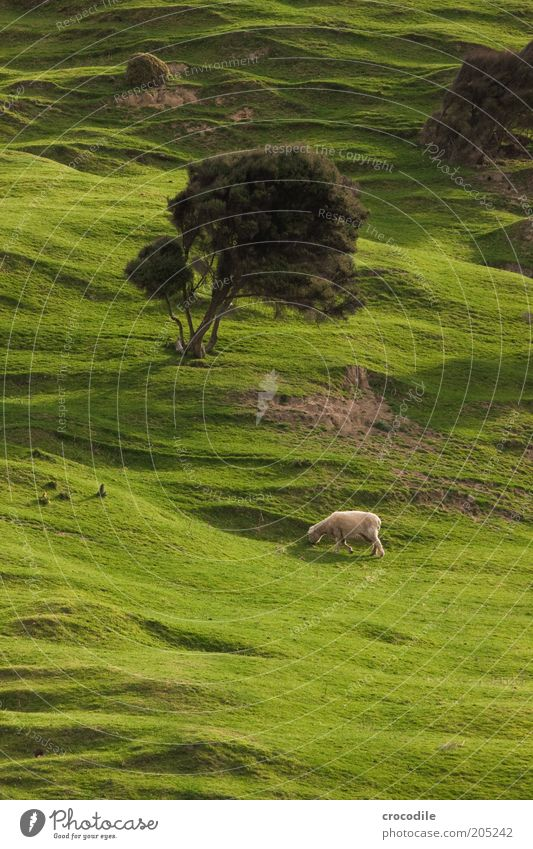 Nature Tree Plant Meadow Grass Spring Contentment Environment Island Hill Pasture Sheep To feed Wanderlust New Zealand Farm animal