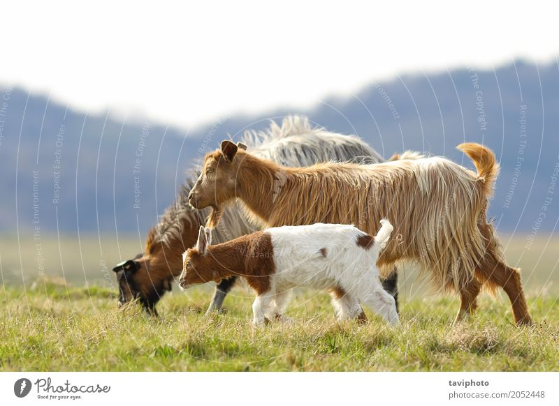 goat family walking on meadow Child Nature Landscape Animal Adults Environment Love Meadow Funny Natural Family & Relations Small Happy Group Baby Cute