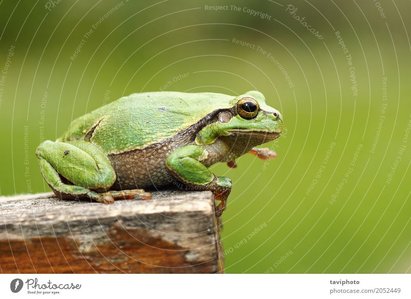 gorgeous european tree frog Beautiful Woman Adults Environment Nature Animal Tree Wood Observe Sit Small Natural Cute Wild Green Colour gorgrous hyla arborea