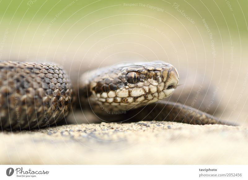 juvenile beautiful meadow viper Nature Youth (Young adults) Beautiful Animal Meadow Small Brown Wild Fear Dangerous Photography Cute Living thing European