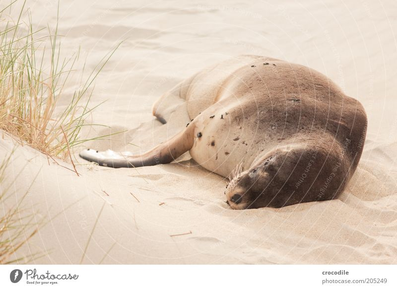 New Zealand 161 Environment Nature Sand Coast Beach Island Animal Wild animal Seals Exceptional Natural Contentment Fatigue Exhaustion Colour photo