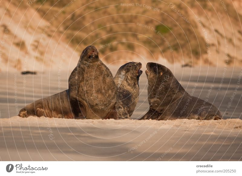 Nature Water Beach Sand Landscape Coast Island Group of animals Threat Lie Exceptional Wild animal New Zealand Sea lion