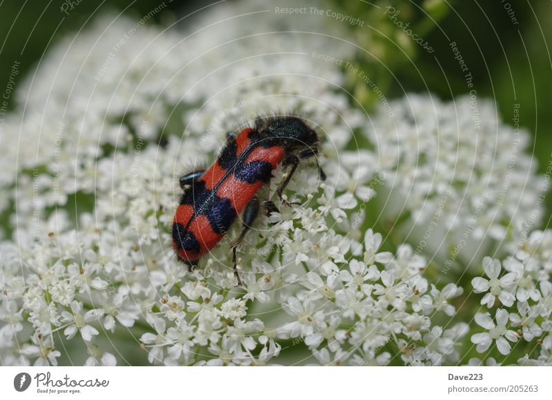 White Plant Red Summer Black Animal Blossom Wing Wild animal Beetle Crawl Striped Insect Macro (Extreme close-up) Wild plant Checkered beetle