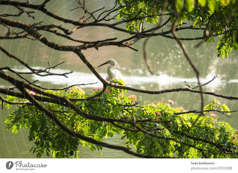 white bird along a lake Beverage Nature Peace Sri Lanka Asia tree branches Kandy wildlife peaceful holy water animal Wild feather pond one sun great aquatic