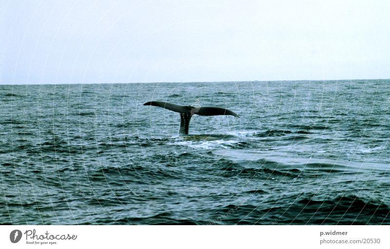 Ocean Whale Sperm whale Marine mammal