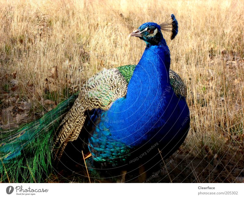 Pretty guy. Nature Wild animal Bird Animal face 1 Beautiful Blue Green Arrogant Pride Conceited Colour photo Exterior shot Copy Space left Light Shadow