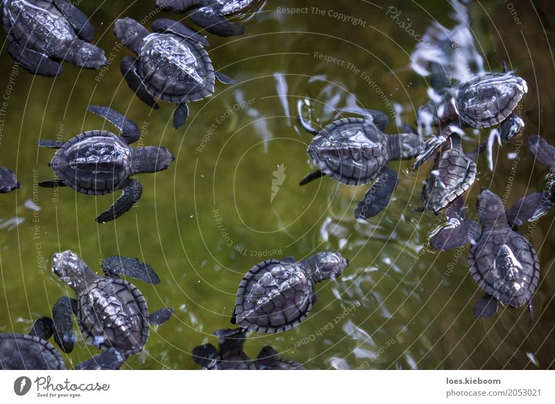 baby turles black on green Life Vacation & Travel Nature Joy Calm Sri Lanka Asia Iceland gall olive ridley turtles water young Background picture animal Wild
