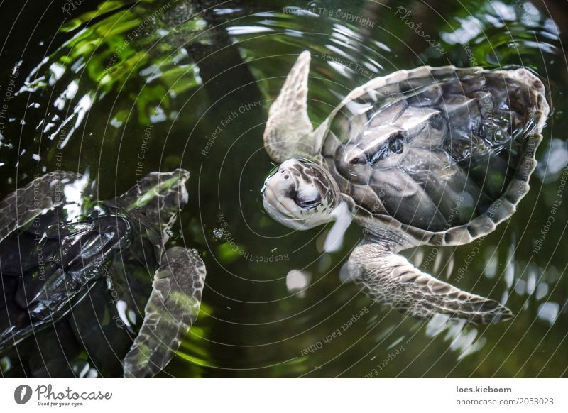 turtle ballet Life Vacation & Travel Nature Power Wisdom Sri Lanka Asia gall turtles animals black olive ridley water young Background picture Wild freedom