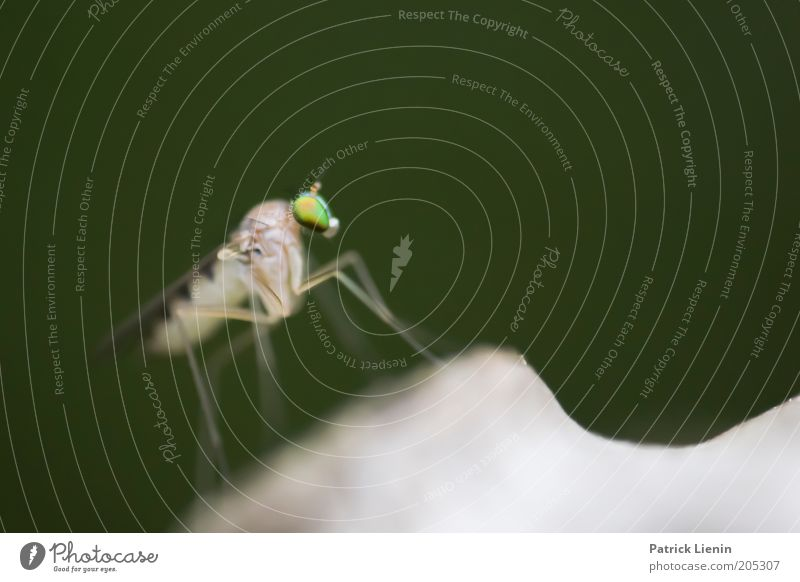 Alien [4] Nature Animal Wild animal 1 Small Beautiful Mosquitos Clear Green Extraterrestrial being Pierce Insect long-legged fly Colour photo