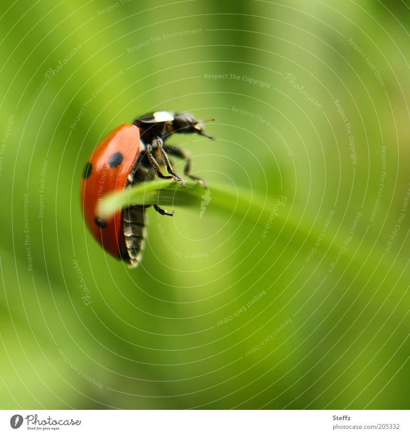 Nature Plant Green Summer Red Animal Grass Happy Posture To hold on Insect Hang Blade of grass Balance Crawl Beetle