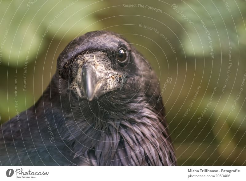 In view Environment Nature Animal Sun Weather Beautiful weather Wild animal Bird Animal face Crow Raven birds cabbage Beak Eyes Feather 1 Observe Flying