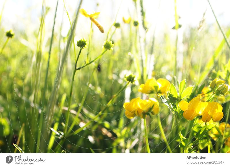 flower meadow Fragrance Nature Plant Sunlight Spring Summer Beautiful weather Flower Grass Blossom Flower meadow Blossoming Illuminate Natural Yellow Green