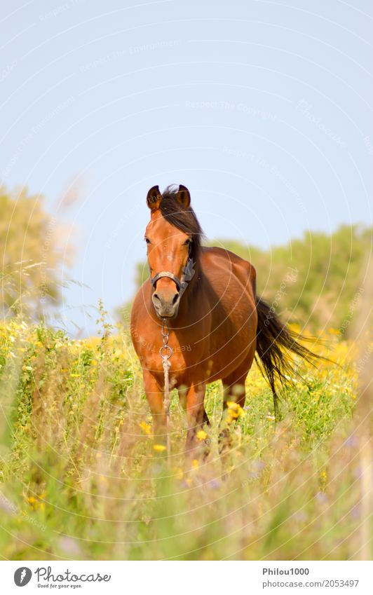 Brown horse in a meadow filled Summer Sports Nature Animal Grass Meadow Pet Horse 1 Observe Wild Green Black White Curiosity Elegant background bay beatiful
