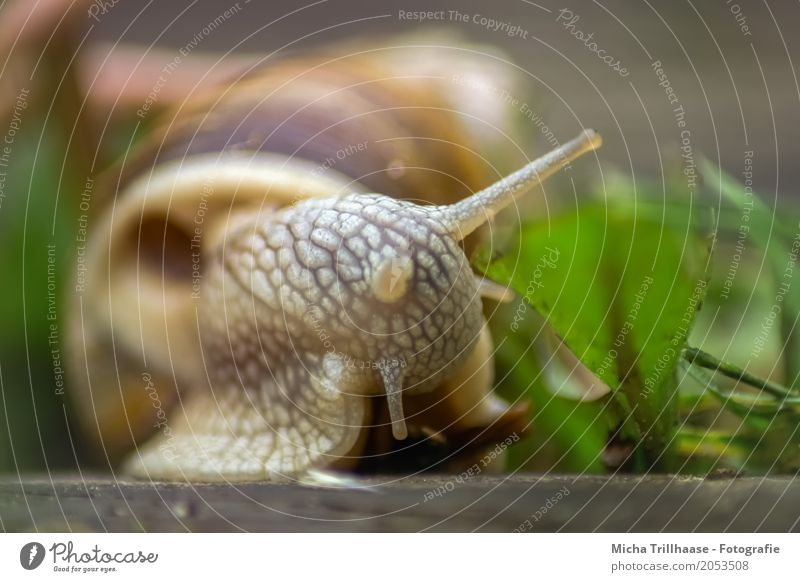 escargot Environment Nature Animal Sun Sunlight Beautiful weather Plant Leaf Wild plant Wild animal Snail Animal face Feeler Snail shell Vineyard snail 1