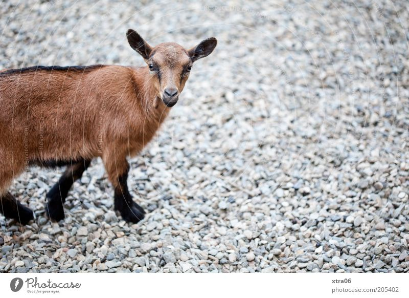 want what? Animal Farm animal Animal face Pelt Zoo Petting zoo Goats 1 Baby animal Looking Natural Curiosity Cute Brown Colour photo Exterior shot