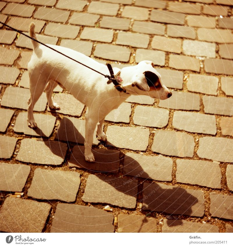 White Animal Dog Brown Protection Curiosity Cute Testing & Control Cobblestones Watchfulness Pet Pull Love of animals Dog collar Dog lead
