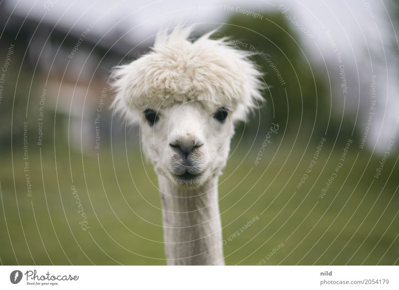 What are you looking at? Environment Nature Landscape Plant Animal Meadow Field Farm animal Animal face Alpaca Llama 1 Observe Funny Curiosity Cute Green White