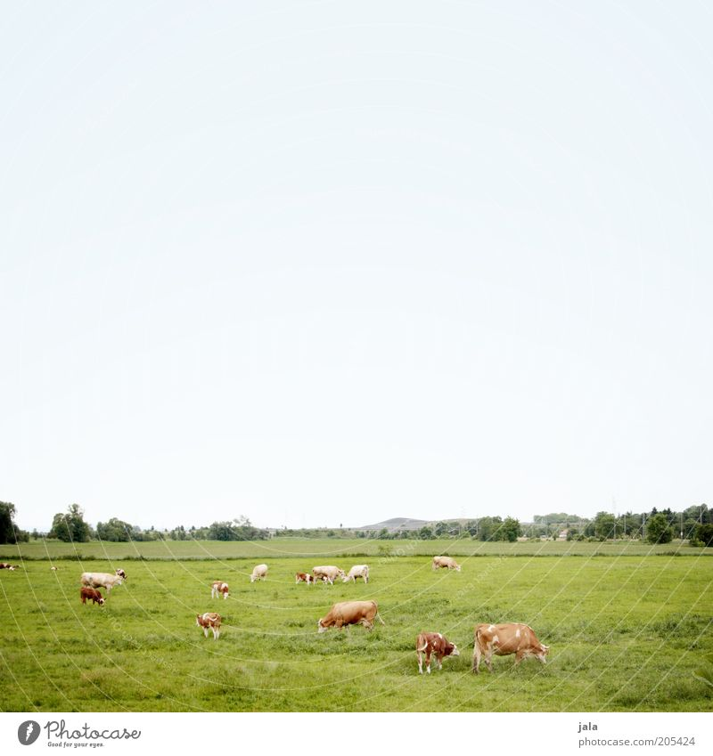 cow pasture Landscape Sky Plant Tree Grass Meadow Field Pasture Animal Farm animal Cow Group of animals Herd Blue Green To feed Colour photo Exterior shot