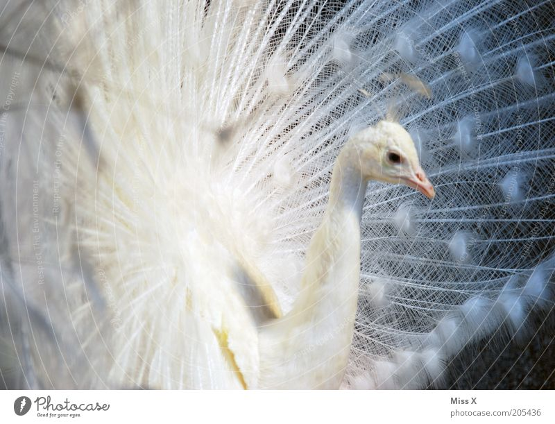 peacock Animal Bird Zoo 1 Rutting season Esthetic Beautiful White Arrogant Pride Conceited Peacock Feather Peacock feather Albino Colour photo Exterior shot