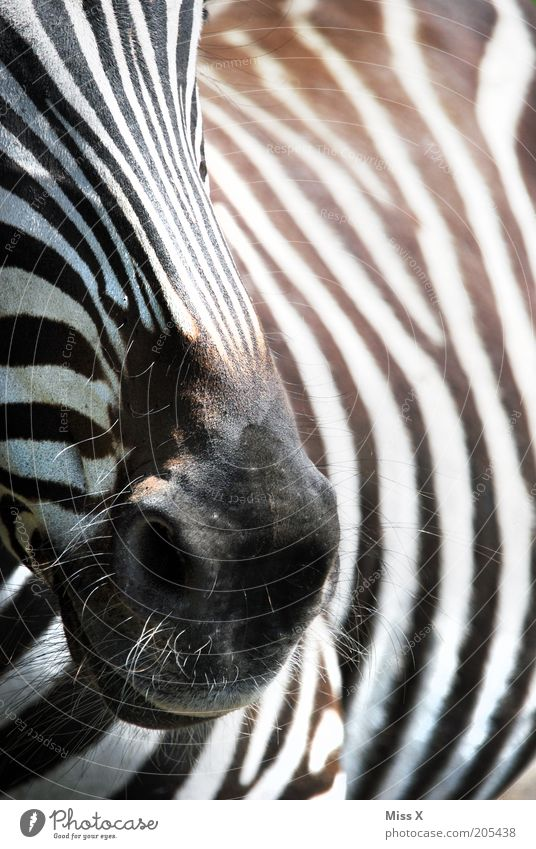 Diego's current favorite animal Animal Wild animal 1 Black White Zebra Stripe Nostrils Pelt Colour photo Black & white photo Exterior shot Close-up Detail