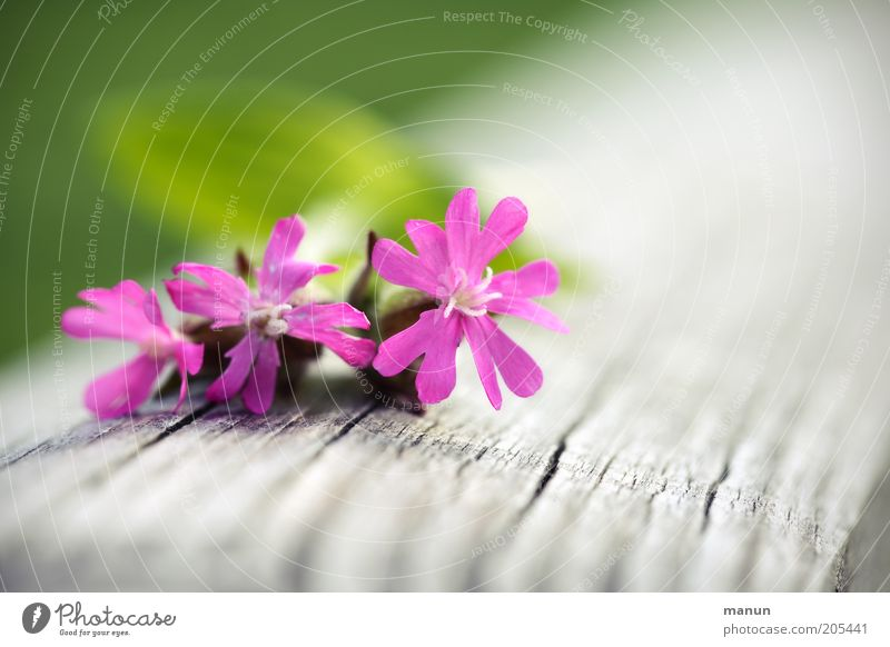 postcard Nature Spring Summer Plant Flower Blossom Wild plant Spring flower Summerflower Meadow flower Dianthus red campion Fragrance Bright Beautiful Pink