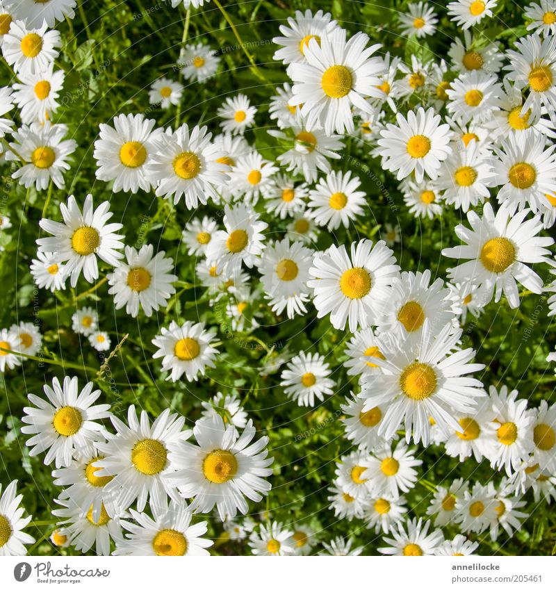 Nature Beautiful White Plant Summer Yellow Meadow Blossom Environment Growth Flower Flower meadow Marguerite Blossom leave