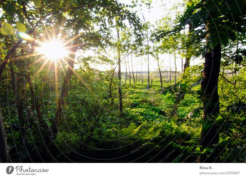Sunset in the moor Environment Nature Landscape Plant Summer Tree Bushes Foliage plant Wild plant Forest Bog Marsh quickborn Illuminate Green Emotions