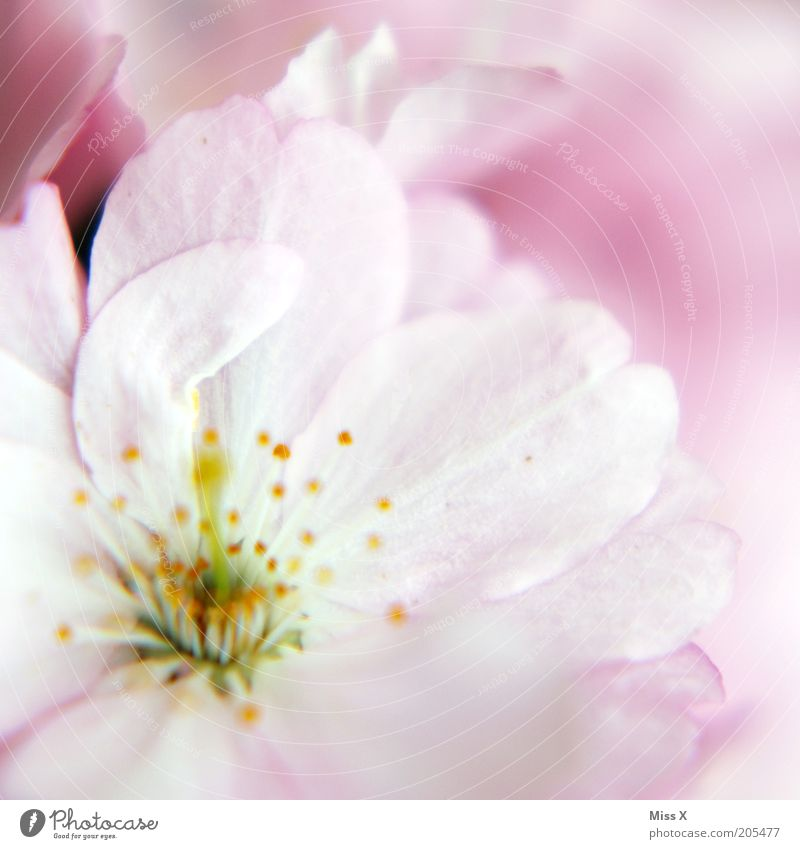 Nature Plant Blossom Spring Pink Delicate Smooth Pistil Blossom leave Cherry blossom Pastel tone Macro (Extreme close-up)