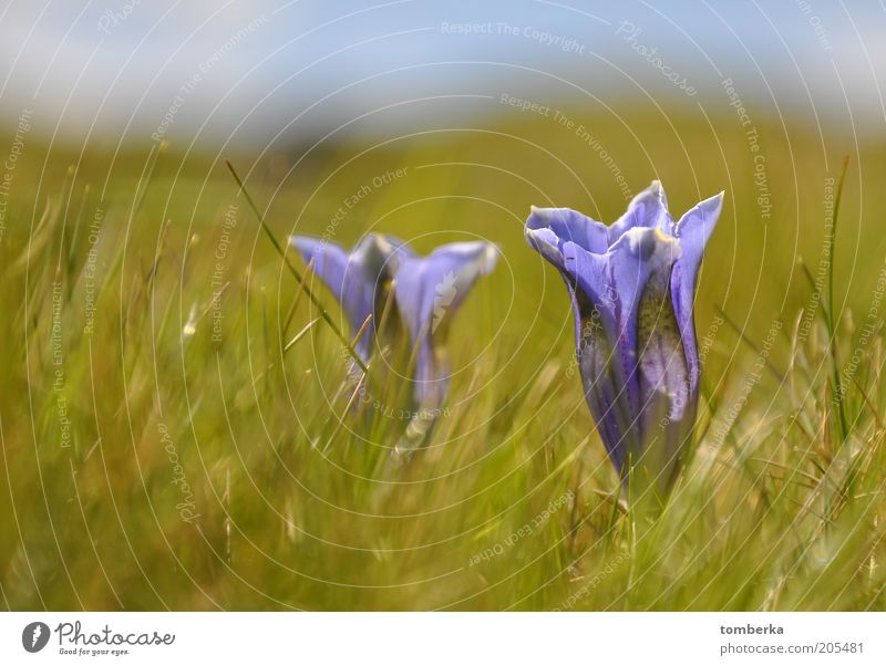 Gentian on the mountain pasture Nature Plant Summer Flower Blossom Wild plant Moody Gentian plants Colour photo Exterior shot Day Violet Calyx Meadow flower