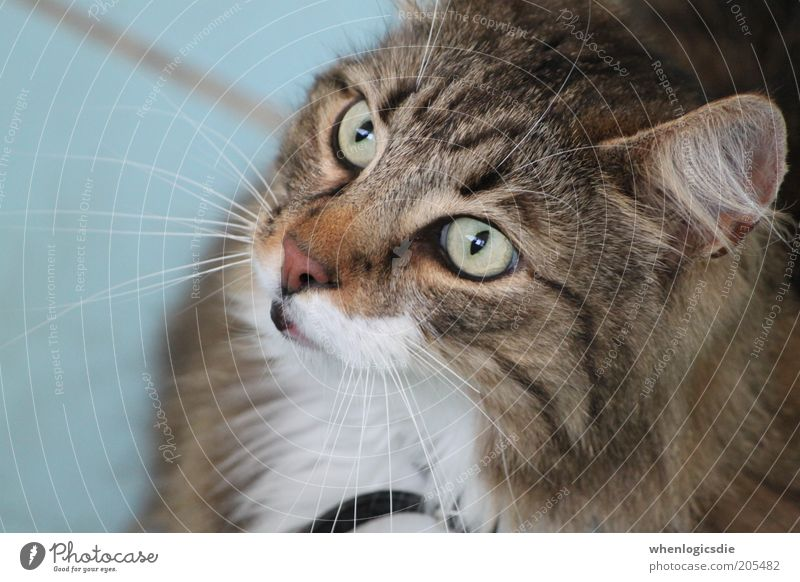 cat Animal Pet Cat 1 Esthetic Fat Cuddly Curiosity Brown Gray White Colour photo Day Deep depth of field Animal portrait Forward Upward Looking away