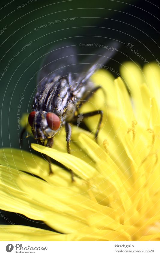 innocuous Environment Nature Plant Animal Flower Dandelion Fly Blowfly Wait Small Near Insect Colour photo Exterior shot Detail Macro (Extreme close-up) Blur